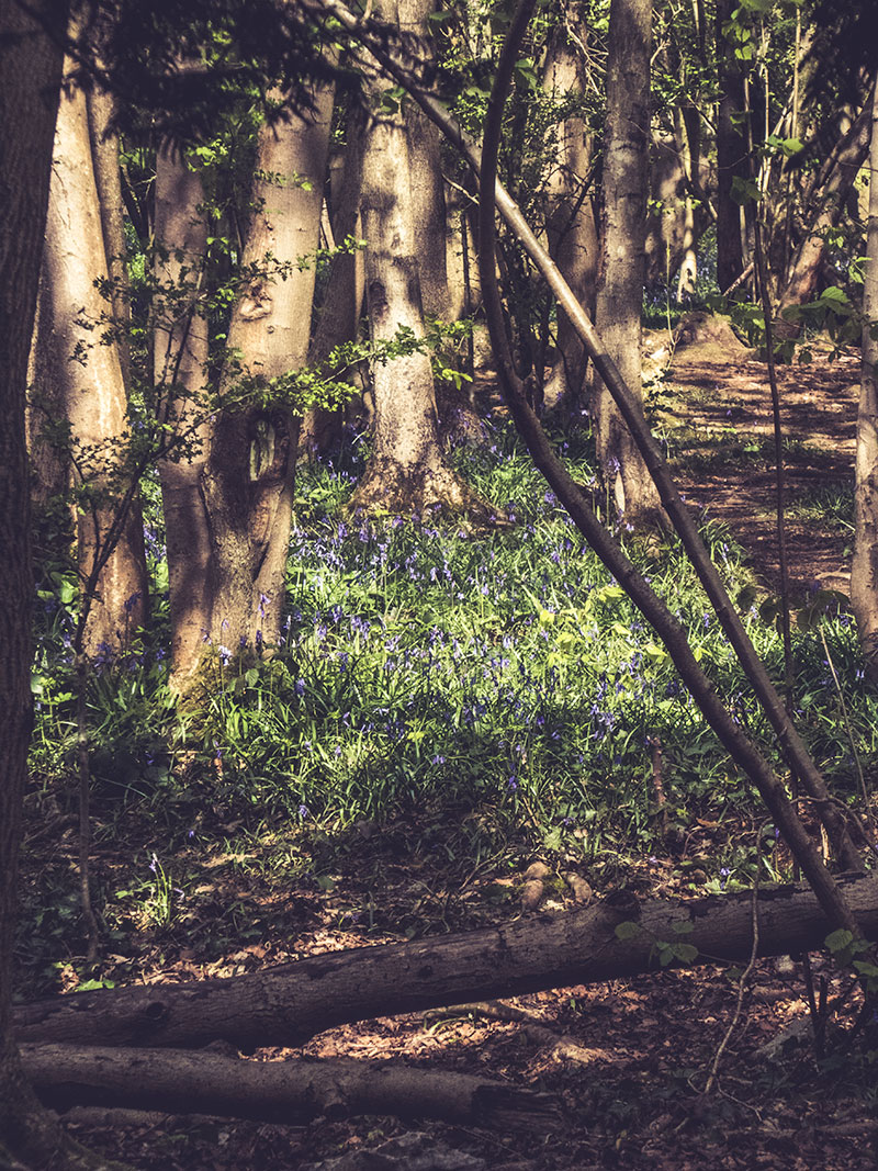 P1030328_bluebellwoods